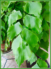 Adiantum trapeziforme (Giant/Diamond Maidenhair, Trapezoidal Maidenhair) with graceful cascading fronds, July 9, 2014