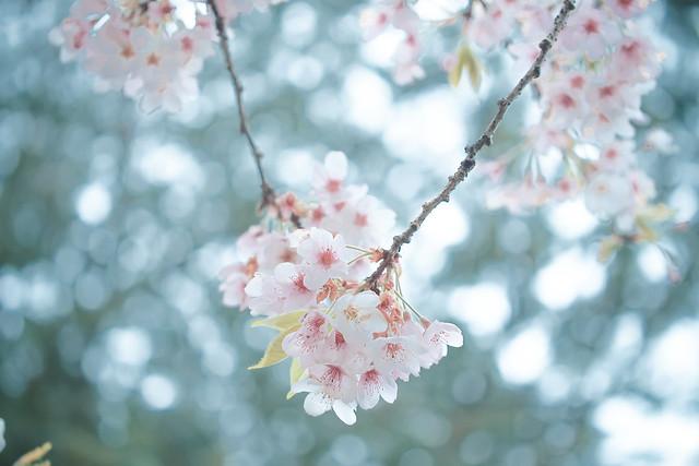攝影人計畫 | Olympus | 春櫻