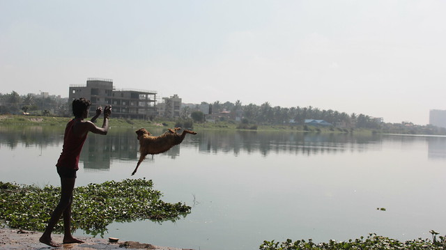Manjunath, a shepherd from Amruttahalli, throws one of his sheep into the lake before giving it a thorough soap and scrub.