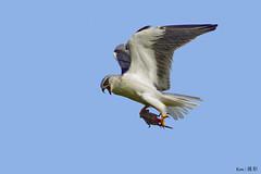 Black Shoulder Kite with prey