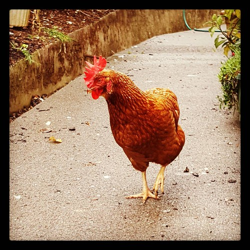 Up the garden path. #farm #chicken  #inthecountry
