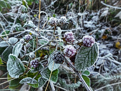 Frozen Blackberries - Frosty Morning