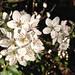 Spring Blossom_3510 (1) by Rikx