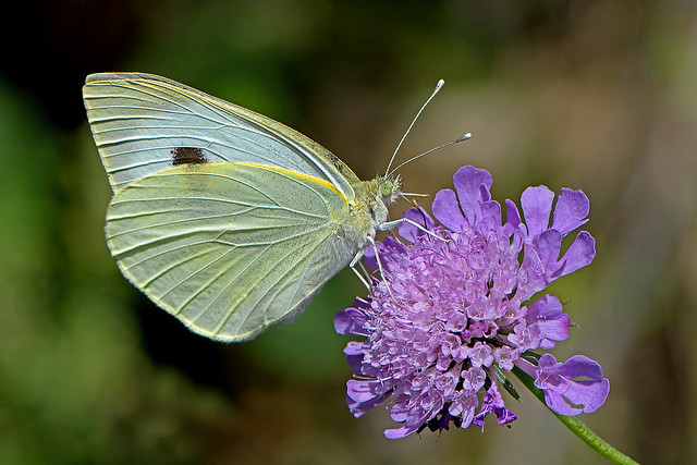 Pieris brassicae - the Large White