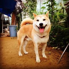 dog breed, animal, akita inu, akita, dog, shiba inu, pet, norwegian buhund, shikoku, mammal, korean jindo dog,
