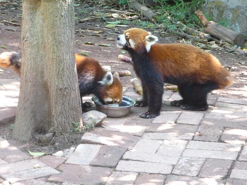 CH-Chengdu-Panda-roux (2)
