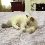 Penelope, show blue mitted Ragdoll girl kitten, Ready and Available!