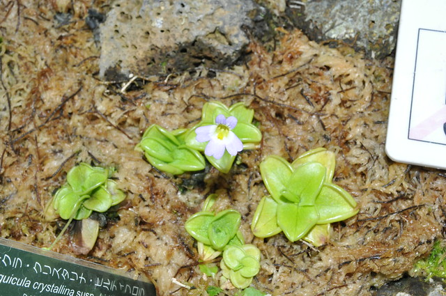 Pinguicula crystallina in flower