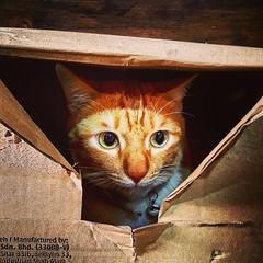 #Chomel in a box.  #mypet #mycat #redtabby #domesticshorthair #catsworldwide #catsofinstagram #instacat #catlover