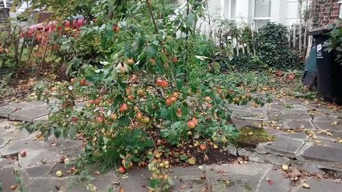 apple tree in London Oct 15