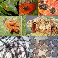 Gymnosporangium sabinae