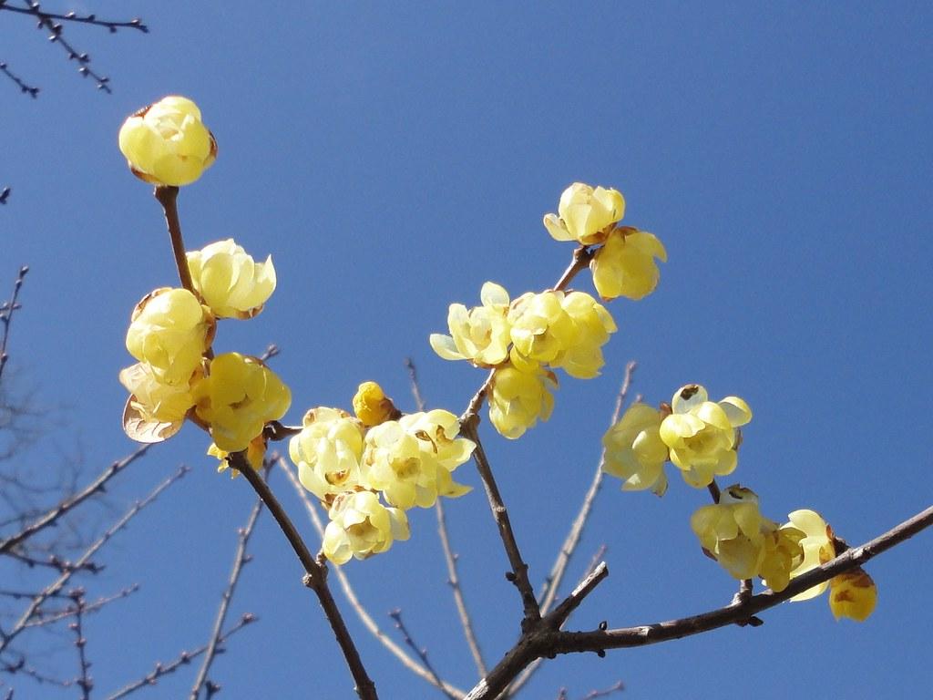 Robai (Chimonanthus praecox)