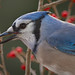 Bluejay in Winterberry by Darryl Robertson