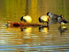 Autumn. Goose-Aerobics
