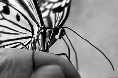 Butterfly on the hand - Photo of Bazainville