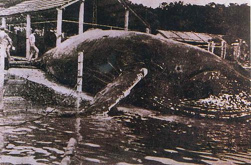 在香蕉灣所捕獲的大翅鯨(Megaptera novaeangliae)。圖片來源:漁業推廣月刊93期「胡興華1994走入歷史的台灣捕鯨業」。