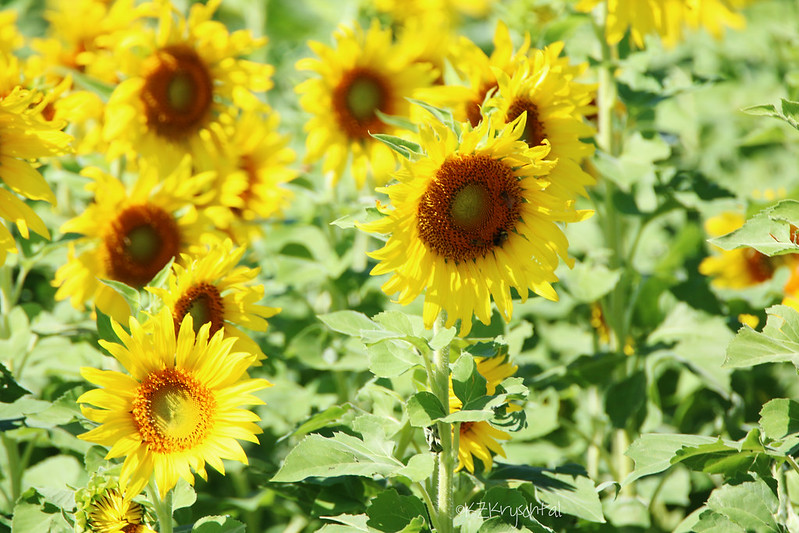IMG_1896Sunflowers