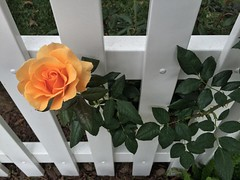 Peach Perfection #rose #peach #perfect #fenced #kamaprana #OmRoam #ontheroad #losangeles #thanksgiving