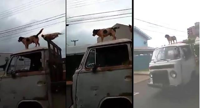 cachorro galinha