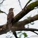 Brush Cuckoo by tebanwuds