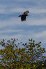 Turkey Vulture 3