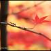 Maple Leaf Minimalism 楓葉的智慧 - Van Dusen XT4318e by Harris Hui (in search of light)