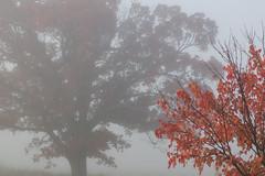 Oak and Maple Trees, Autumn Fog