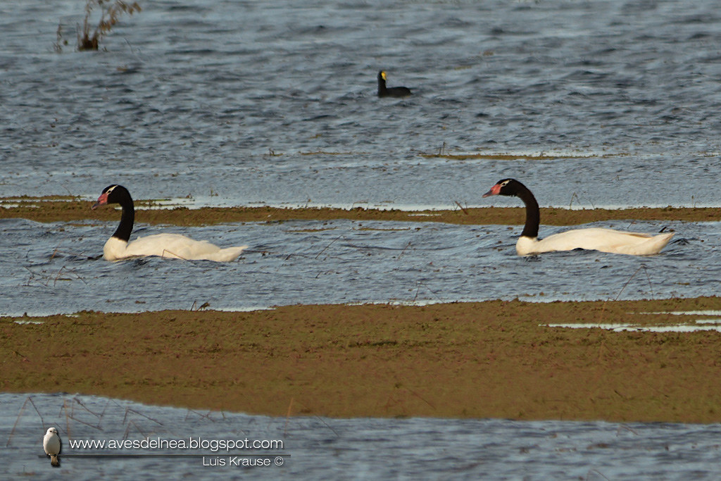 Cisne cuello negro (Black-necked Swan) Cygnus melancoryphus