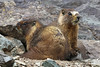 Marmots by From The High Country