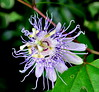 Purple Passionflower by pjpink