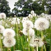 Every so often we're meant to lose our heads / #outandabout #dandelions #fields #england #countryside #nature #seed #white #flower #frenchfinds