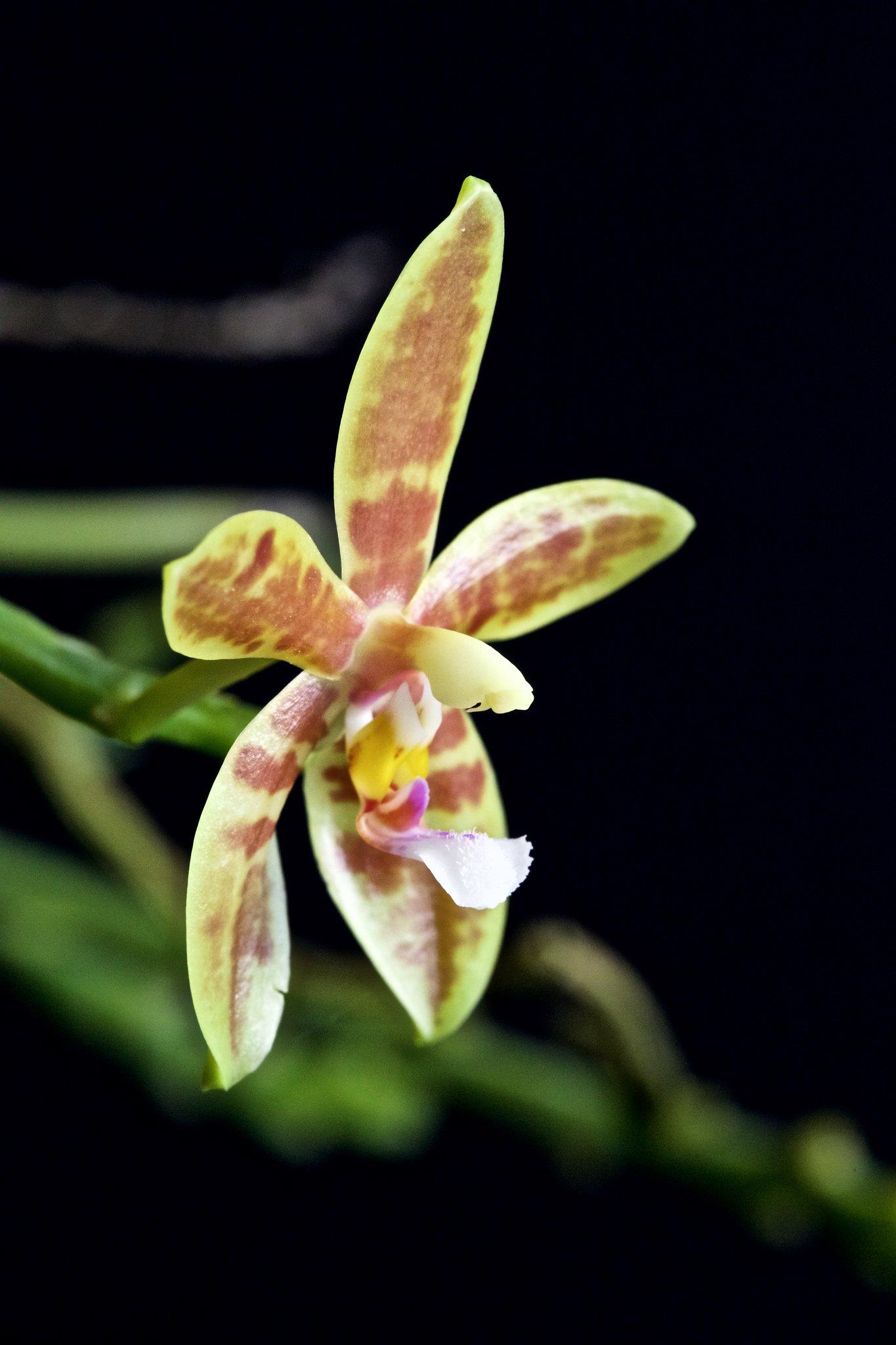 Phalaenopsis Meen Estrela 21149901301_328673ba5f_k