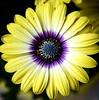 Osteospermum blue eyes by Peter Cabral Photography