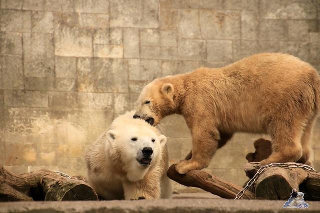 Eisbär Fiete im Zoo Rostock 19.09.2015 Teil 2  0178