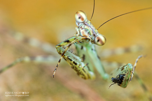 Bark mantis (Liturgusa sp.) - DSC_8717