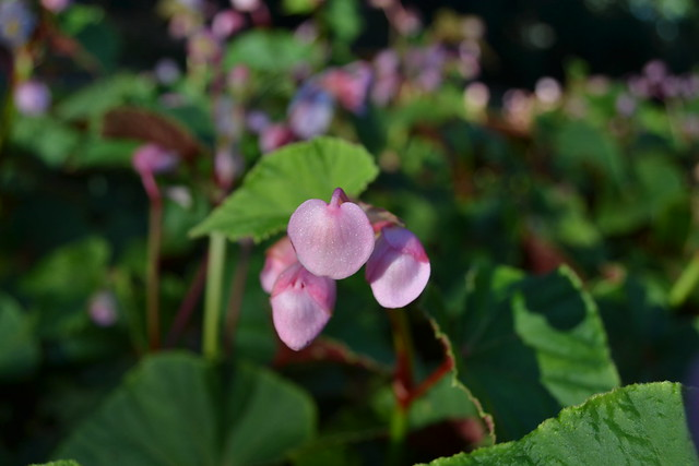 Pink tepals of Begonia grandis (hardy begonia), suspended in the evening sun at Bluebell Wood. Photo by Lee Patrick.