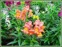 Antirrhinum majus (Common Snapdragon, Garden Snapdragon, Snapdragon, Dragon Flowers), Nov 3 2013