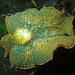 Elysia hedgpethi (Berkeley to my tank) by dougmason