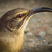California Thrasher Los Liones Canyon 2231 1 by pekabo90401