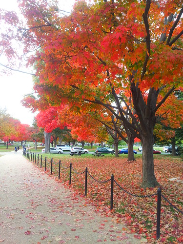 Maples along the Mall