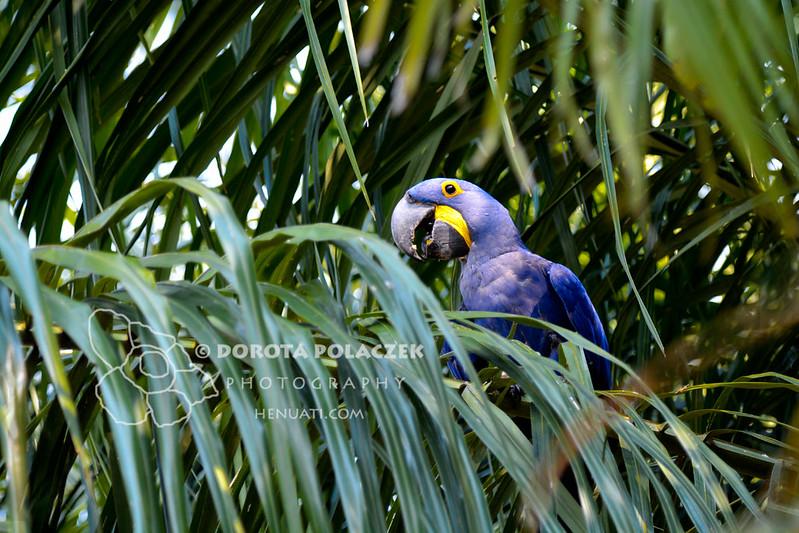 Hyacinth macaw (Anodorhynchus hyacinthinus)