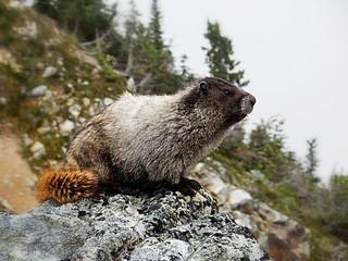 Marmot in Whistler