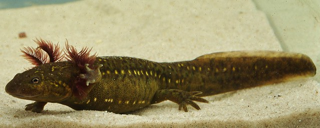 Header of Ambystoma ordinarium