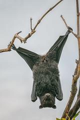 Bat yoga