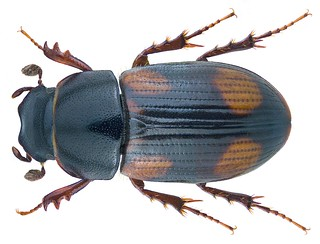 Phalacronotus quadrimaculatus ssp. quadrisignatus  (Brulle, 1832) Syn.: Aphodius (Phalacronotus) quadrimaculatus ssp. quadrisignatus Brulle, 1823