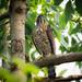 Crested goshawk . Accipiter trivirgatus  .  鳳 頭 蒼 鷹  .  1121
