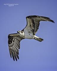 Osprey Fly By, Snohomish River Delta, Everett Washington
