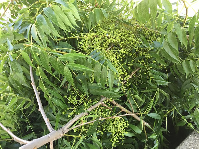 Lots of tree fruits growing.