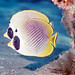 Indonesia Butterflyfish (Adiogaster) (Charles Anderson)