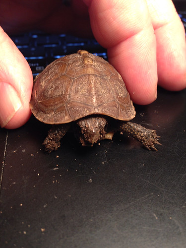 Smallest box turtle we have found in our yard.